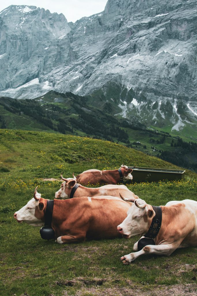 cows with cowbells in the Alps